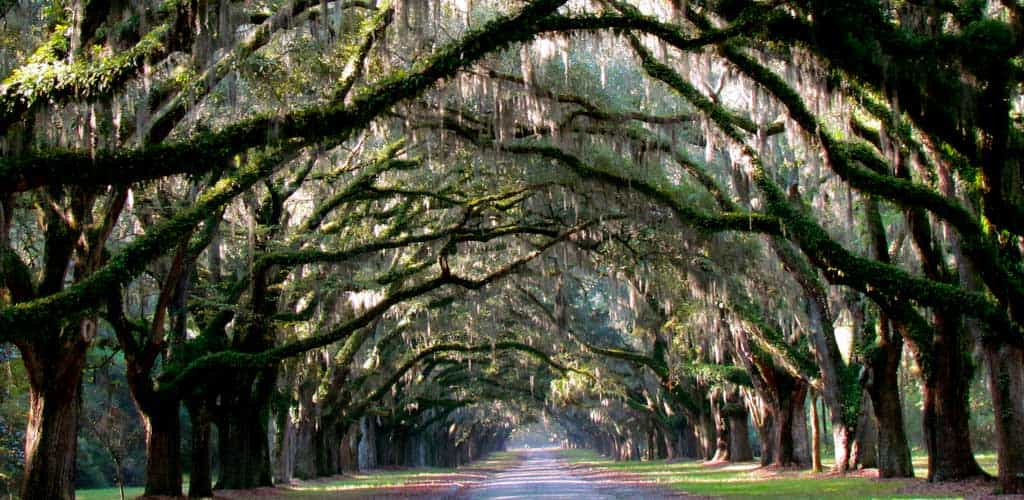 Travel under Georgia's Live Oak trees covered with Spanish Moss