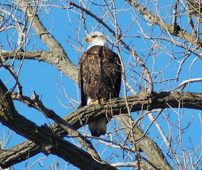 Minnesota has a thriving community of bald eagles found throughout the state.