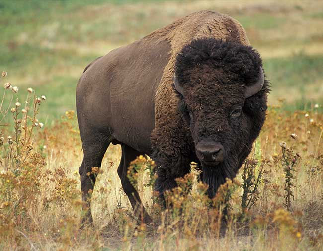 The American bison thrive on the great plains of Oklahoma.