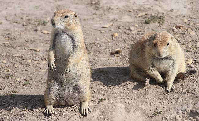 Check out the prairie dogs found all over the plains of South Dakota.