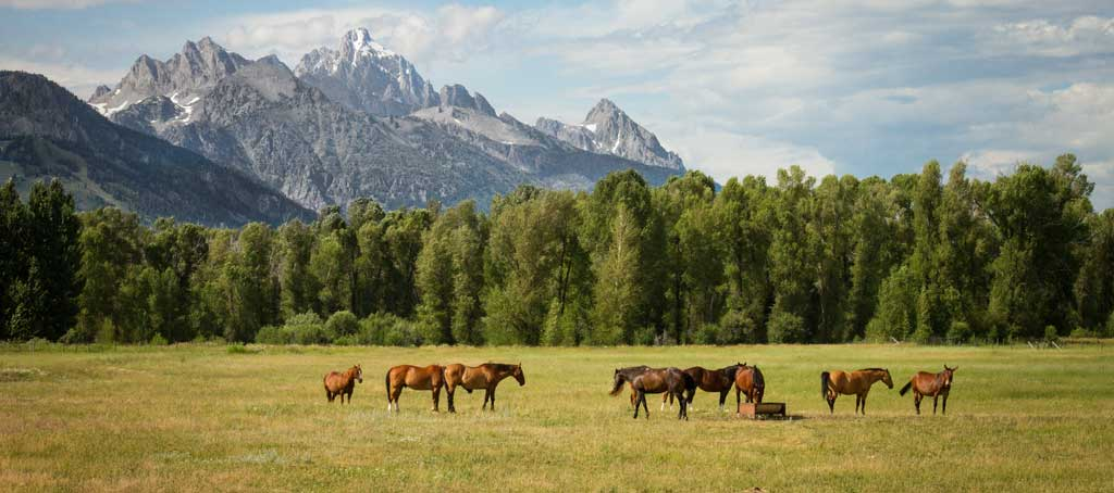 Horses roam free in the Wyoming countryside.